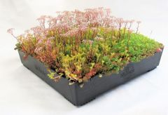 Wallbarn M-Tray® Sedum Wildflower Green Roof Module - 500 x 500 x 100mm